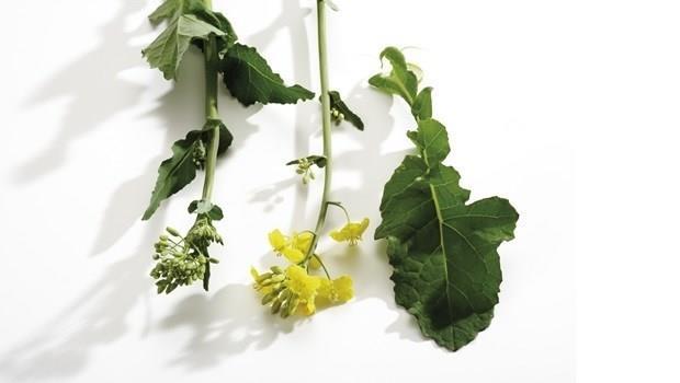 超級食物油菜花:預防骨鬆、貧血、提升免疫力...這樣煮留下最多營養