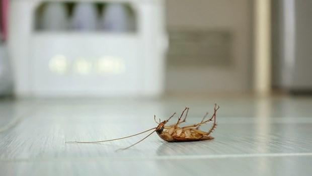 蟑螂從糞便到唾液,都是過敏原!美國免疫學醫師:做3件事減少蟑螂危害