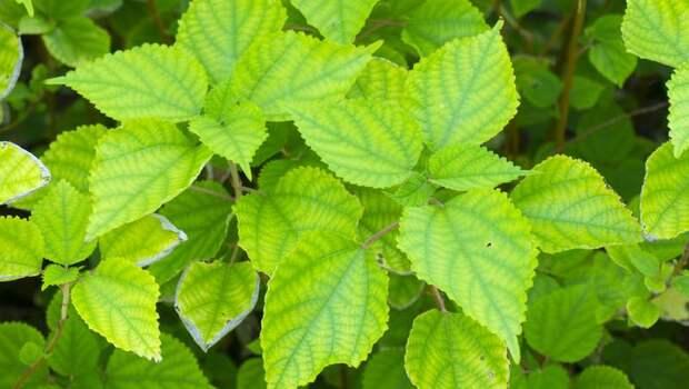 「口腔癌」是台灣癌症死亡原因第5名!嚼7天「這本土植物」就可改善...專家這樣看