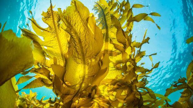 褐藻醣膠,防癌、抗發炎?營養師解密:保健成分「褐藻醣膠」是什麼、功效有哪些