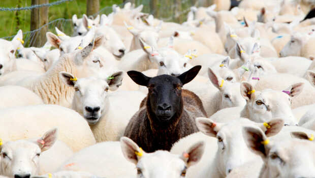 好人欺負好人,卻以為是正義的一方....心理師:從「黑羊效應」看你是黑羊、白羊,還是屠夫?